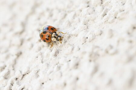 Harmonia - Ladybug on white wall. Stok Fotoğraf