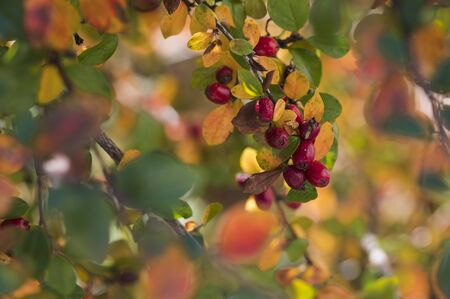 Red fruits of decorative shrub with colorful leaves in autumn.