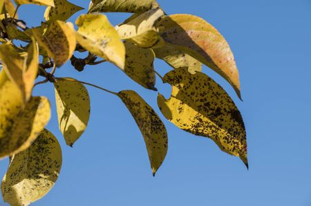 Yellow pear tree leaves with black spots.