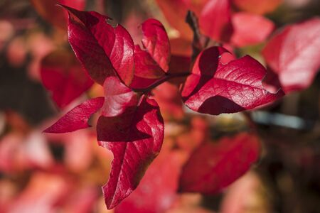 Red leaves of garden blueberries. |