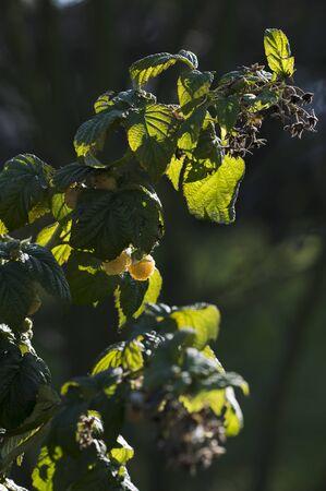Yellow raspberry fruits on plant.
