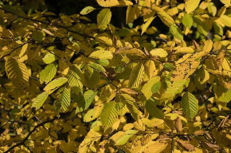Orange-colored beech leaves near the forest.