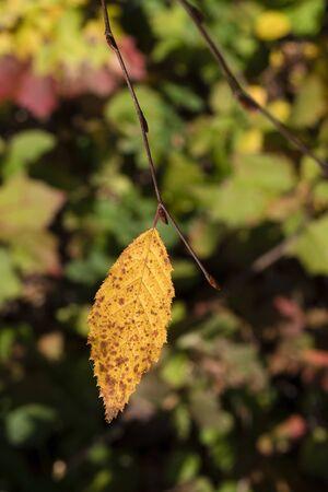 Orange leaf on a beech twig.