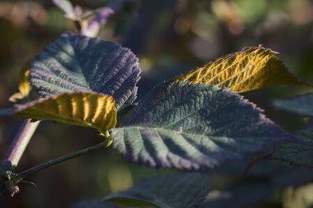 Orange-yellow mold on the bottom of blackberry leaves.