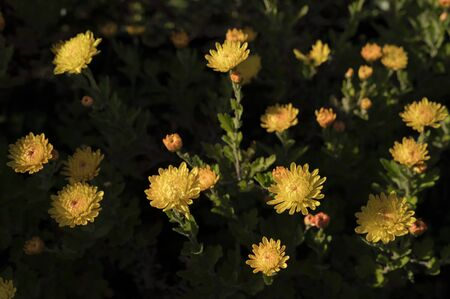 Yellow Chrysanthemum flowers with morning icing.