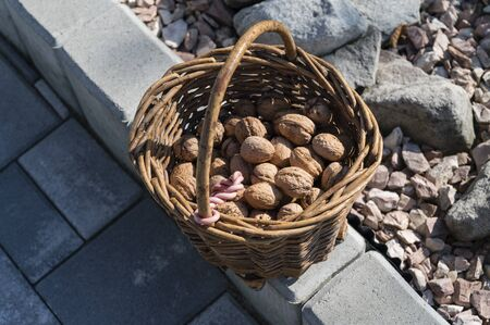 Wicker basket with picked nuts. Archivio Fotografico - 134263948