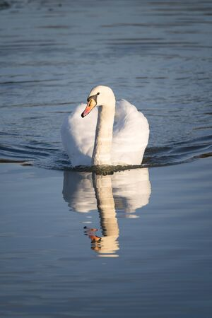 Adult swan floating on the surface. Archivio Fotografico - 134650188