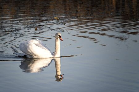 Adult swan floating on the surface.