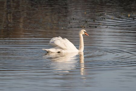 Adult swan floating on the surface. Archivio Fotografico - 134650198
