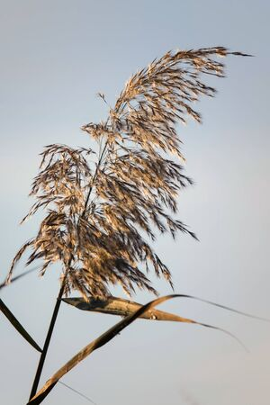 Reed grass seeds in the morning light. Stockfoto