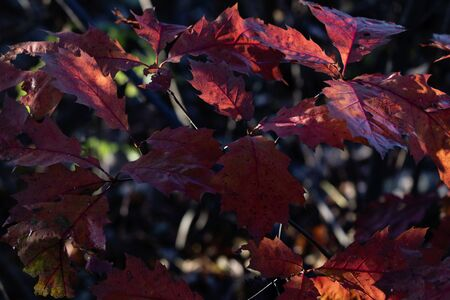 Red oak leaves in the glow of light.