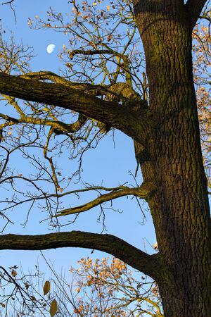 Moon glowing by day on blue sky and oak trunk.