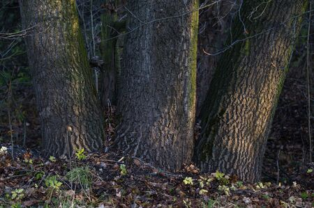 Three trunks growing side by side.