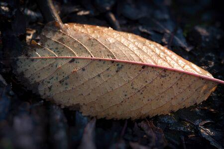 Orange leaf of cherry lying on the ground.