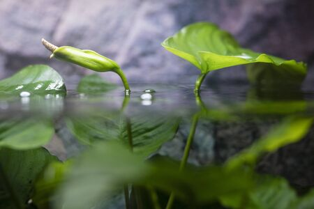 Blooming water plant above  surface. Stockfoto