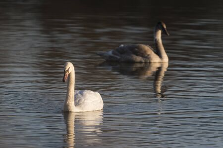 Adult swan and cub on the water surface of the lake.