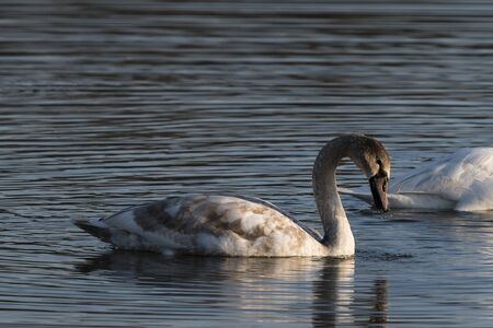 A young swan sailing on the surface of a lake.
