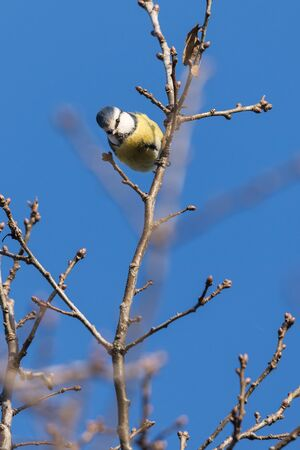 Blue tit on a twig with blue sky in the background.