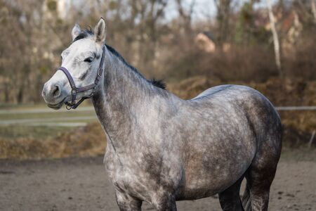 Gray horse in the paddock.