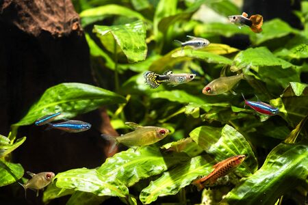 A mixture of freshwater fish in an aquarium with a root in the background and green leaves. Stock fotó