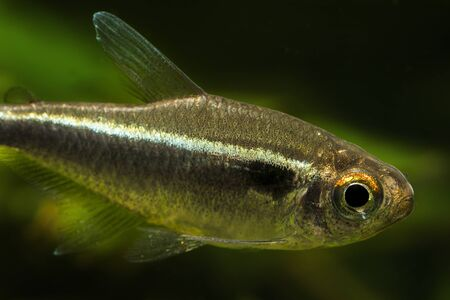 Freshwater tetra black neon fish in detail.