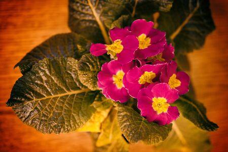 Red primula flowers in interior. 写真素材