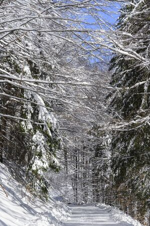 Logged forest road in winter with snow on surrounding trees.