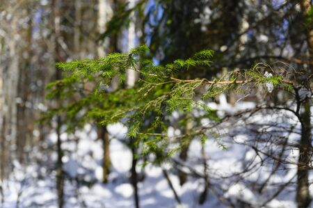 Green spruce needles on branch with snowy forest in the background.