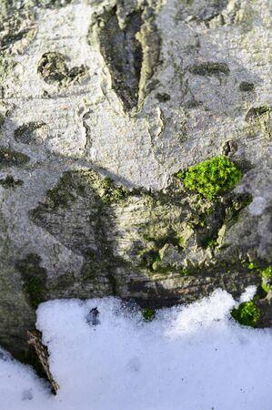 Green moss on tree bark over snow.