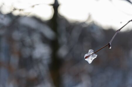 Piece of ice on a twig in winter forest.
