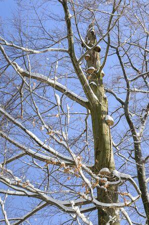 Mushrooms growing high on beech tree trunk in winter.