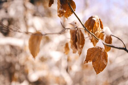 Snow covered beech leaves outdoors in nature.