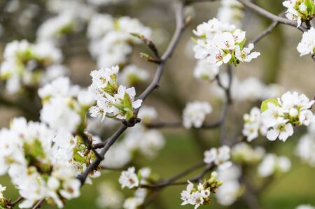Pear blossoms on a twig.