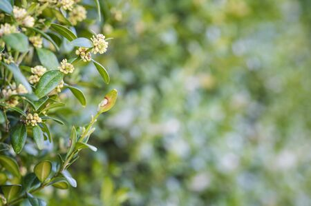 Buxus sempervirens - close-up of flowers on a boxwood bush. Stock Photo