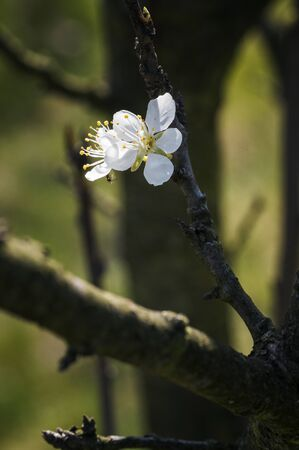 White plum blossom on a twig. Stockfoto