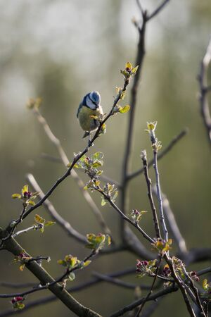 Blue Tit on a twig of an apple looking for food. 스톡 콘텐츠