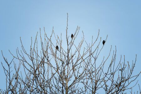 Three starlings on tree branches without leaves. 스톡 콘텐츠