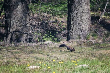 Bouncing brown squirrel near the forest. 스톡 콘텐츠