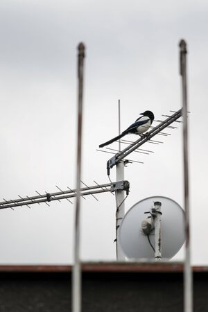 Magpie sitting on an antenna near a satellite on the roof of the house. 스톡 콘텐츠