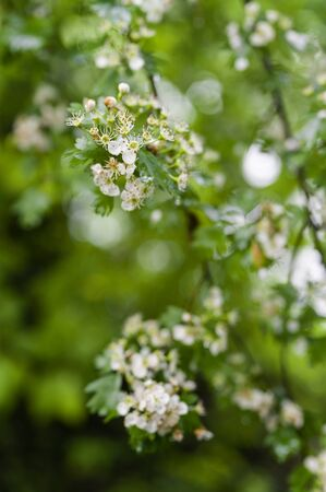 Hawthorn flowers on branches with green leaves. 스톡 콘텐츠