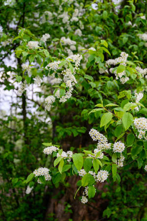 Prunus - White flowers with green leaves on the tree.