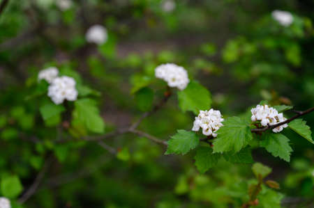 White flowers with green leaves on the tree. 스톡 콘텐츠
