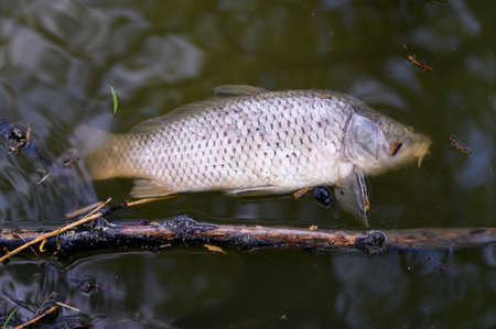 Dead carp on the surface of the lake.