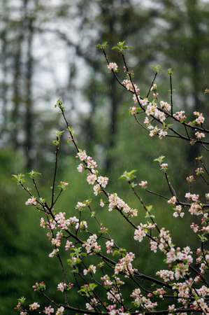 Apple tree flowers on the branches in the rain. 스톡 콘텐츠
