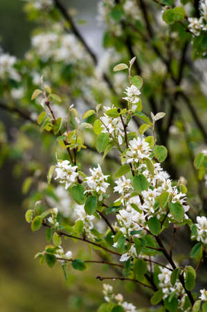 White flowers on the branches of a page with green leaves.