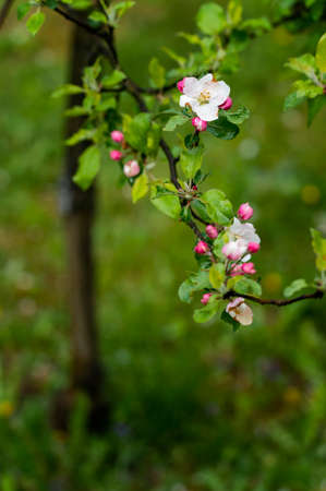 Close-up of an apple tree blossom after the rain.