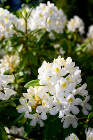 White ornamental flowers of rhododendron frangipani.