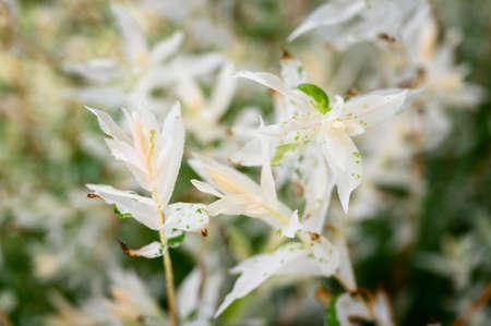 Light white ornamental frangipani leaves in detail.