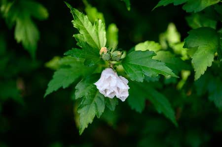 White hibiscus flower in detail.
