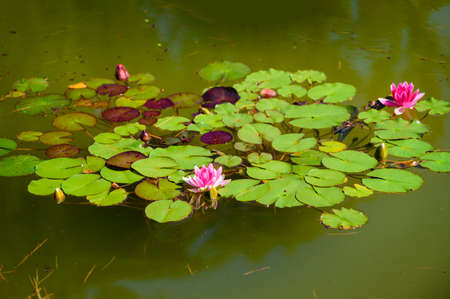 Pink water lily flower among green leaves.